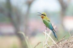 oiseau d'Abeille-mangeur Photo stock