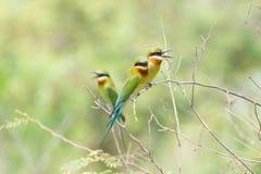 oiseau d'Abeille-mangeur Photographie stock