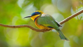 oiseau d'Abeille-mangeur près de lac Baboyaga en Ethiopie, février 2019 photographie stock