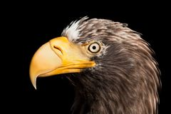 Oiseau d'aigle photo stock
