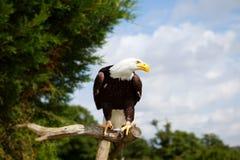 Oiseau d'aigle chauve de proie Image libre de droits