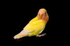 Oiseau d'amour devant le fond noir Photo libre de droits