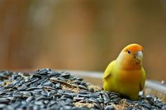 Oiseau d'amour sur une cuvette de grains Images stock
