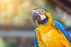 Oiseau d'ara de bleu et d'or avec le fond de lumière du soleil Image libre de droits