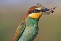Oiseau d'arc-en-ciel de proie Photographie stock libre de droits