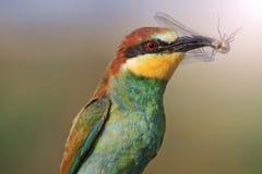 Oiseau d'arc-en-ciel de proie avec le point névralgique ensoleillé Image stock