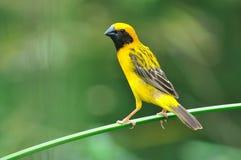 Oiseau d'or asiatique de tisserand Photographie stock