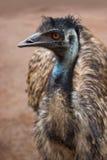 Oiseau d'Australien d'émeu Photo stock
