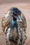 Oiseau d'Australien d'émeu Photographie stock