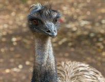 Oiseau d'Australien d'émeu Image libre de droits