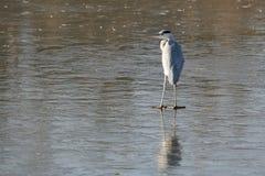 Oiseau d'eau Photographie stock libre de droits