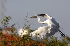 Oiseau d'eau blanc de la Floride Photo stock