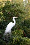 Oiseau d'eau blanc de la Floride Image stock