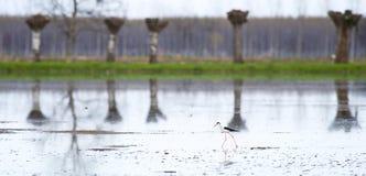 Oiseau d'espèce de himantopus Photo libre de droits