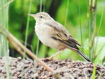 Oiseau d'herbe image stock
