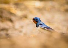 Oiseau d'hirondelle de grange Photos libres de droits