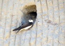Oiseau d'hirondelle en trou de mur de maison, Lithuanie image libre de droits