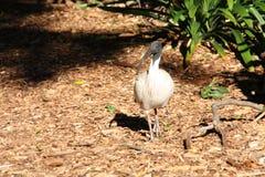 Oiseau d'IBIS Images libres de droits