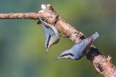 Oiseau d'isolement avec le fond vert Photos libres de droits