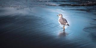 Oiseau d'océan de mouette dans l'eau Images libres de droits