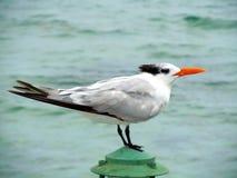 Oiseau d'océan sur l'extrémité d'un dock de région des Îles Caïman Photo libre de droits