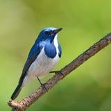 Oiseau d'outre-mer de FLYCATCHER photos stock