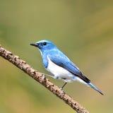 Oiseau d'outre-mer de FLYCATCHER images libres de droits