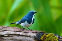 Oiseau d'outre-mer de FLYCATCHER photographie stock libre de droits