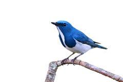 Oiseau d'outre-mer de FLYCATCHER photo stock