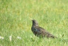 Oiseau d'étourneau Photo libre de droits