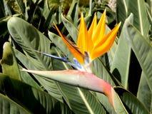 Oiseau d'usine de paradis Photos stock