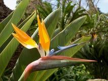 Oiseau d'usine de paradis Images libres de droits