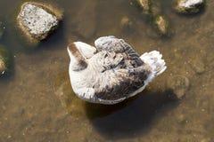 Oiseau dans l'eau Photographie stock libre de droits