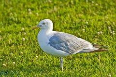 Oiseau dans l'herbe Photo libre de droits