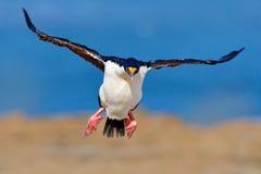 oiseau dans la mouche Atriceps impériaux de tapis à longs poils, de Phalacrocorax, cormoran en vol, mer et ciel bleu-foncé, Falkl Photographie stock libre de droits