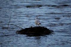 Oiseau dans le lac Image libre de droits