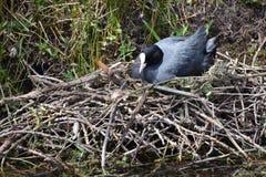 Oiseau dans le nid photos stock