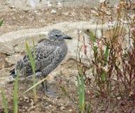 Oiseau de bébé dans l'herbe Image stock