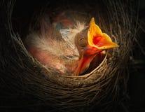 Oiseau de bébé dans le nid avec la bouche ouverte Image libre de droits