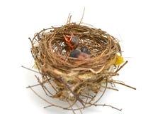 Oiseau de bébé dans un nid Images libres de droits