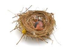Oiseau de bébé dans un nid Photos libres de droits