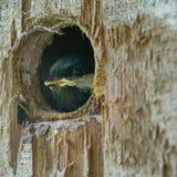 Oiseau de bébé jetant un coup d'oeil du nid photos stock