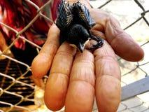 Oiseau de bébé nouveau-né sur la main du ` s de dame âgée Images stock
