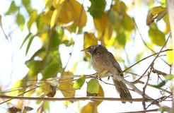 Oiseau de bavard de jungle Photographie stock