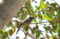Oiseau de bavard de jungle Images libres de droits