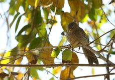 Oiseau de bavard de jungle Images stock