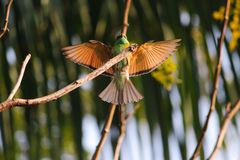 Oiseau de Beaeater Image libre de droits