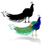 Oiseau de beauté de paon sur le fond blanc illustration de vecteur d'aquarelle editable Images libres de droits