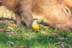 Oiseau de Bem Te Vi devant un capybara qui est alimentation de l'herbe Image stock
