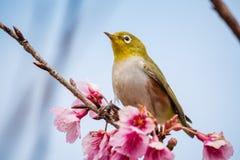 oiseau de Blanc-oeil sur Cherry Blossom Photo libre de droits